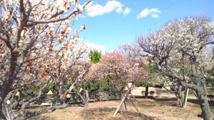 3番ホール 梅の木