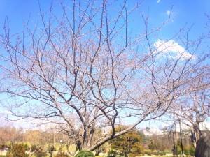 4番ホール 桜の木