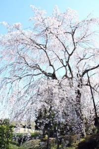 枝垂桜その②