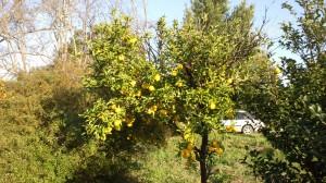 8番ティ左手の植木畑のユズ