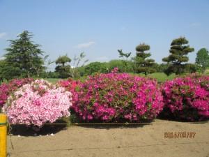 ツツジの花も満開です